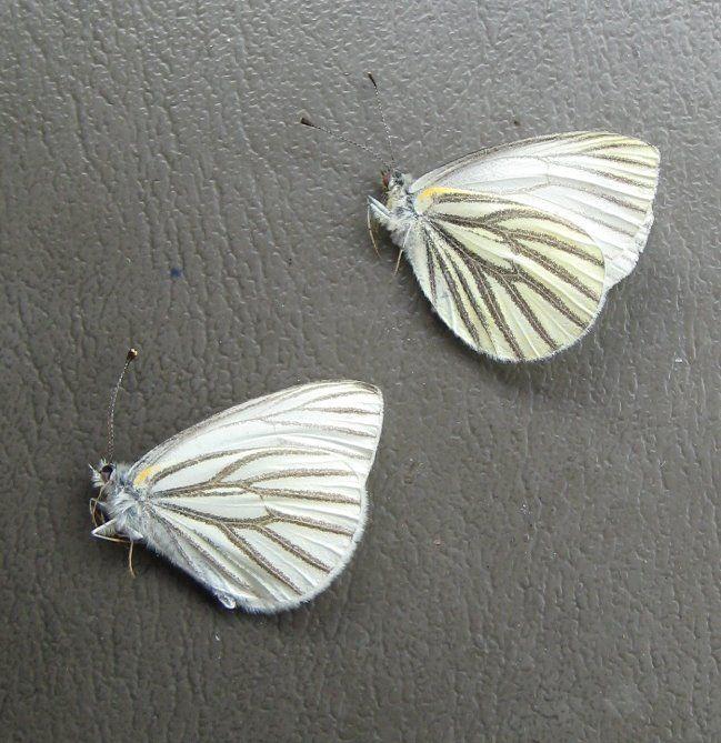 Mustard Whites - spring form